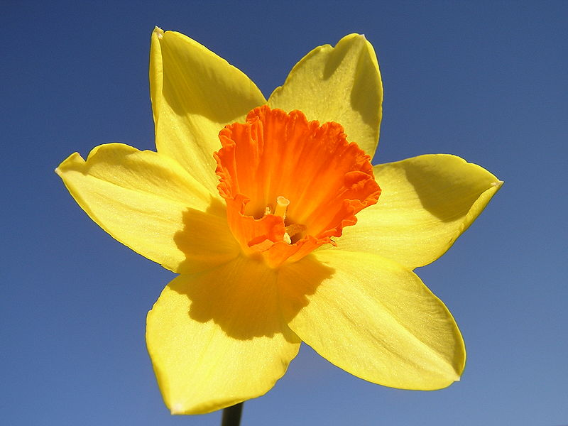 Daffodil meaning homosexual relationships